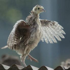 Pheasant Release Programme