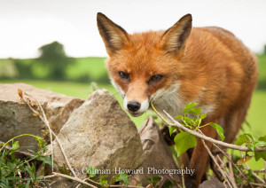 irish-red-fox-1-of-1