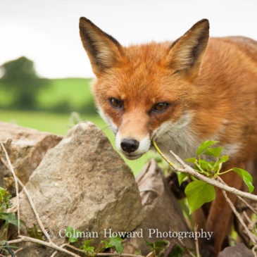 The fox population in Ireland has been steadily increasing